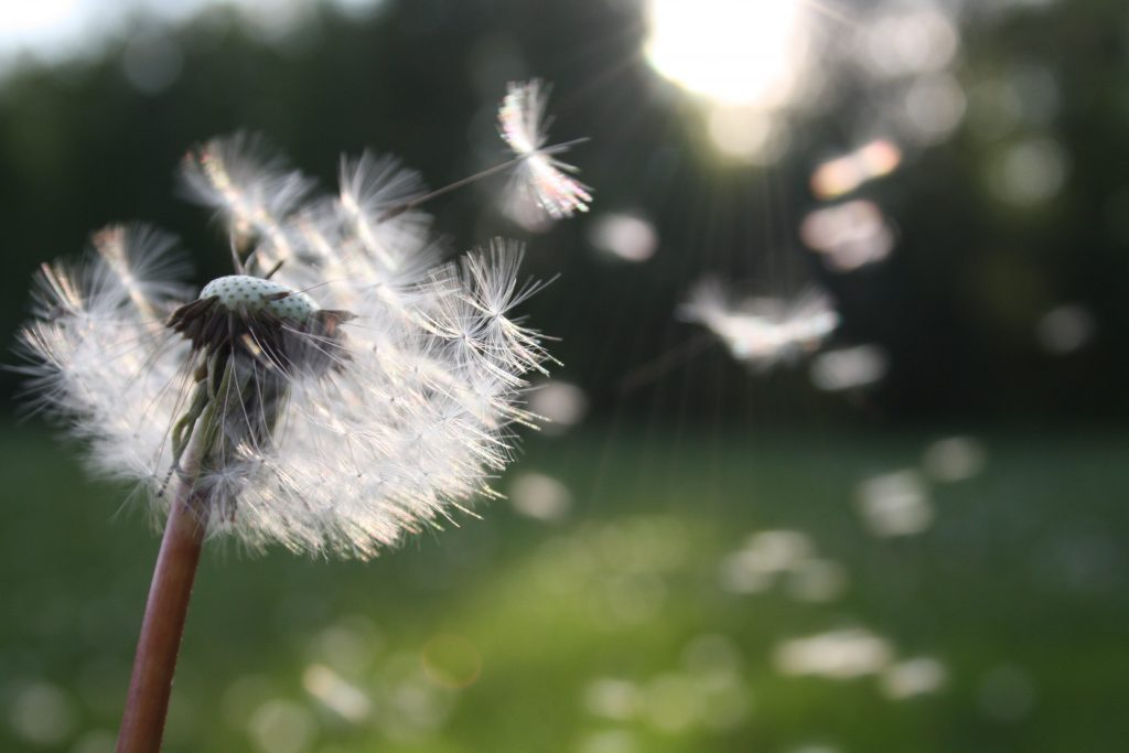 Affirmations Affect Health - Wish Dandelion